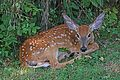 White-tailed Deer - Odocoileus virginianus, Waterway Farm, Lovettsville, Virginia.jpg