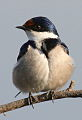 White-throated Swallow, Hirundo albigularis at Marievale Nature Reserve, Gauteng, South Africa (9700119737).jpg