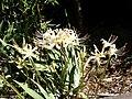 White Lycoris.jpg