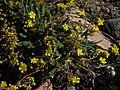 White Mountains mousetails, Ivesia lycopodioides var. scandularis (23899107514).jpg