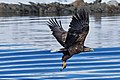 White tailed eagle raftsund.jpg