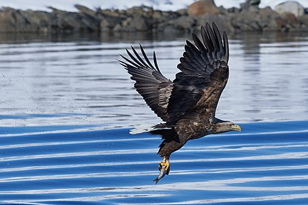 Picture of a white tailed eagle grabbing a fish at Raftsundet/Lofoten