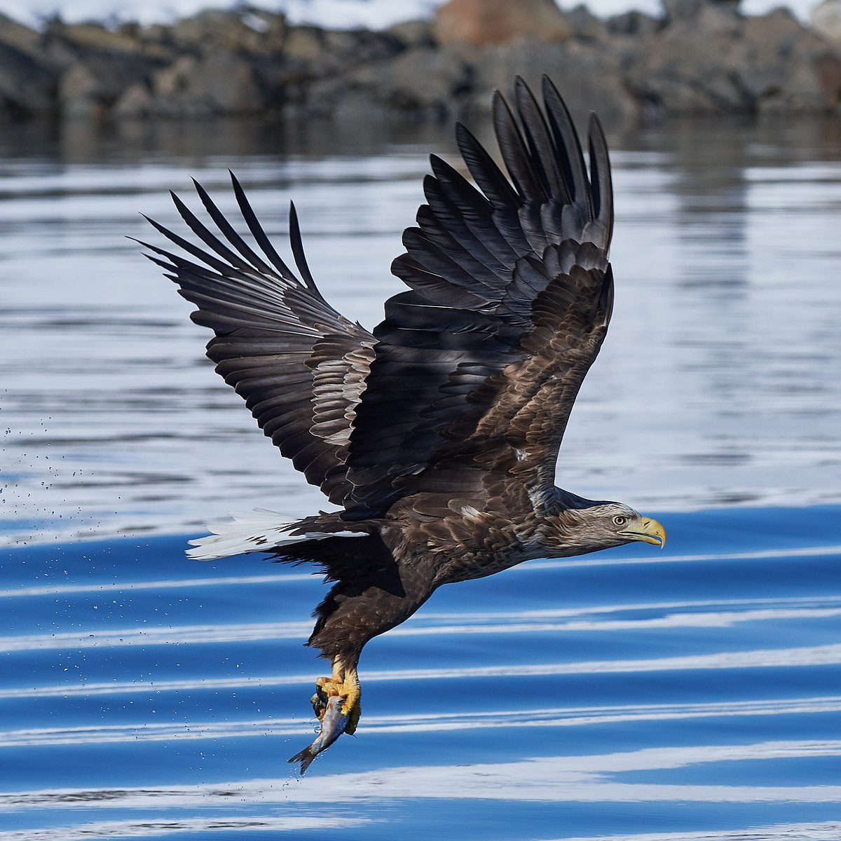 White tailed eagle raftsund square crop.jpg