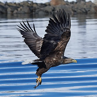 White-tailed eagle - At Raftsund, Lofoten/Norway