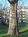 Wiener Naturdenkmal 457 - Morgenländische Platane (Döbling) j.JPG