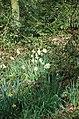 Wild Daffodils in Coddington Plantation. - geograph.org.uk - 394556.jpg