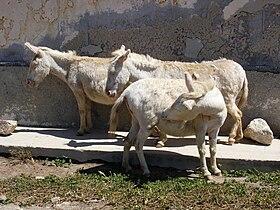 Wild albino donkeys.jpg