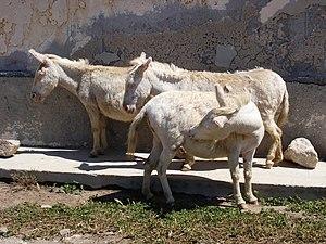 Asinara donkey - Asinara donkeys
