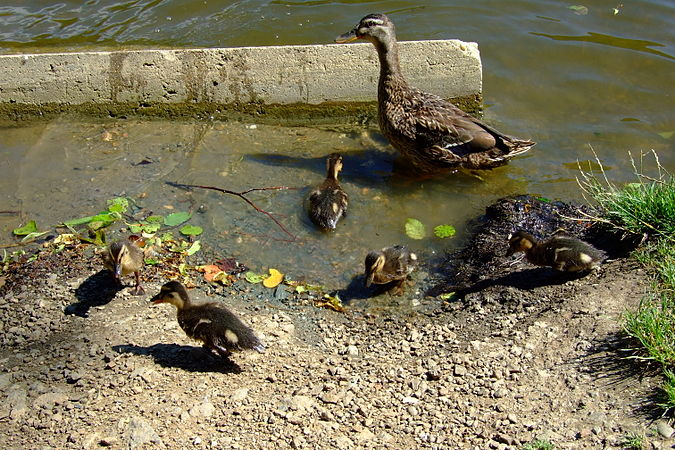 Wild duck family in Marian Valley in Brno-Líšeň.jpg