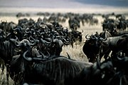 Wildebeest in Ngorongoro Conservation Area, Tanzania. Note the tendency to congregate, one of nature's displays of what is sometimes called the herding instinct or herd behavior.