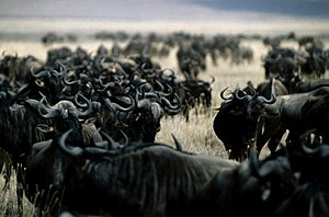 Herd - Wildebeest at the Ngorongoro Crater; an example of a herd in the wild