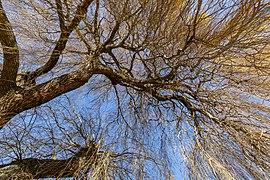 Willow by John Burn Bridge by Park Terrace, Christchurch, New Zealand.jpg