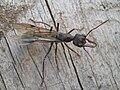 Winged bulldog ant (Myrmecia) in Kialla, Australia - 20100312.jpg