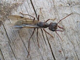Myrmecia (ant) - A winged female bulldog ant in Kialla, Victoria