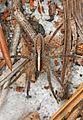 Wolf Spider - Rabidosa hentzi, Lake June-in-Winter Scrub State Park, Lake Placid, Florida - 24860424275.jpg