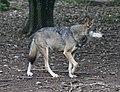 Wolf Tierpark Hellabrunn-5.jpg