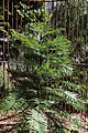 Wollemia nobilis (Araucariaceae) (26796837224).jpg