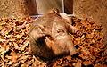 Wombat, Australia Zoo (3341140662).jpg