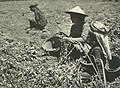 Women with harvest, Wanita di Indonesia p89 (Stoomvart mij Nederland).jpg