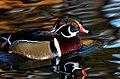 Wood-duck-3.jpg