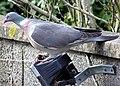 Wood.pigeon.2.arp.750pix.jpg
