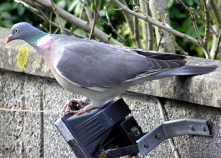 Wood.pigeon.2.arp.750pix