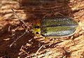 Xanthogaleruca luteola bl3.jpg