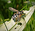 Xanthogramma citrofasciatum - Flickr - gailhampshire.jpg