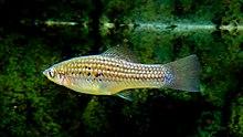 Xiphophorus montezumae 'Tomosopo' from Mexico - FM Forums
