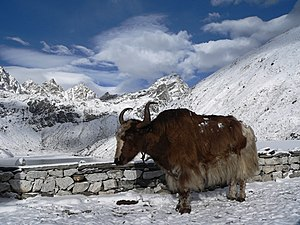 Yak at third lake in Gokyo.jpg