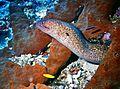 Yelllow-margined Moray Eel Gymnothorax flavimarginatus (7945169556).jpg
