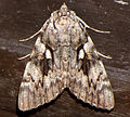 Yellow-banded Underwing.jpg
