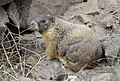 Yellow-bellied Marmot 02.jpg