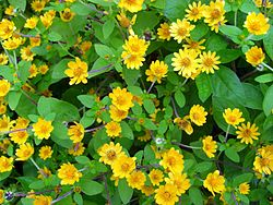 Yellow flowers Da Lat.jpg