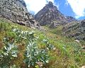Young Waboom trees on Table Mountain - Protea nitida 2.JPG