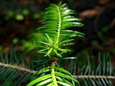 Young abies alba shoots.JPG