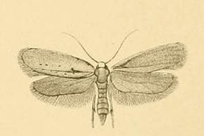 Description de l'image Yponomeuta gigas.JPG.