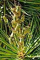 Yucca aloifolia in Jardin des Plantes de Toulouse 02.jpg