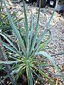 Yucca filamentosa (Adam's needle) 2 (39162569124).jpg