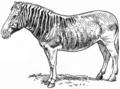 Zebra - Quagga.png