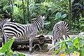 Zebra Singapore zoo 02.jpg