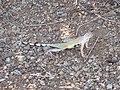 Zebraschwanzleguan (Callisaurus draconoides)93.jpg