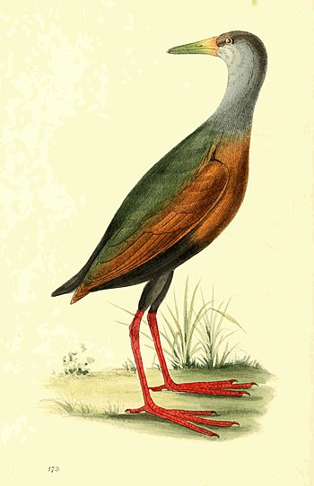 Zoological Illustrations Volume III Plate 173.jpg