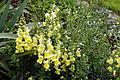 'Antirrhinum majus' Sundial Garden Hatfield House Hertfordshire England.jpg