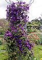 'Clematis viticella' Étoile Violette West Garden Hatfield House Herts England.jpg