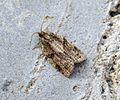 (0993) Clepsis spectrana - Flickr - Bennyboymothman (1).jpg