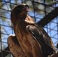 (1)Little eagle-2a.jpg