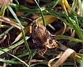 (1010) Red-barred Tortrix (Ditula angustiorana) (6005801423).jpg