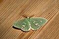 (1667) Blotched Emerald (Comibaena bajularia) (3639883379).jpg