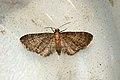 (1813) Haworth's Pug (Eupithecia haworthiata) (3663032991).jpg